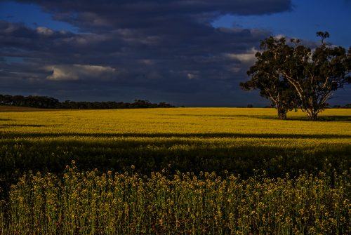Canola field by Trish Dannals