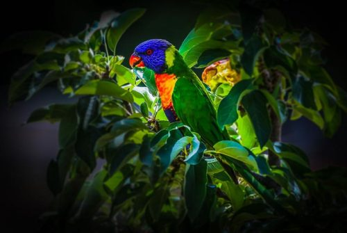 'Rainbow Lorikeet' by Graeme Harvey