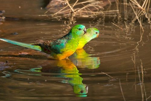'Red-Rumped Parrots' by Cynthia Watkins