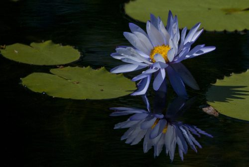 'Water Lily' by Cynthia Watkins