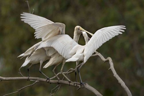 'Hungry Spoonbill' by Will Tainsh