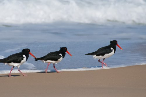 'Pied Oystercatchers'