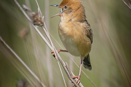'Golden-Headed Cisticola' by Ron Price – Monthly Winning Entry