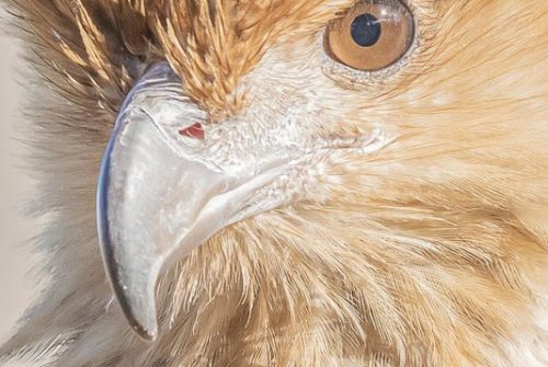 'Whistling Kite Portrait' by Ron Price