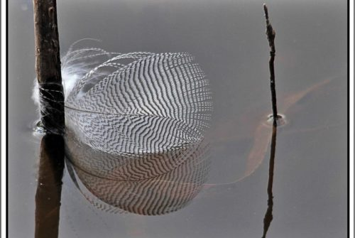 'Feather Reflection' by Dave Thomas