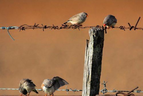 'Zebra Finches' by Cheryl Munzel
