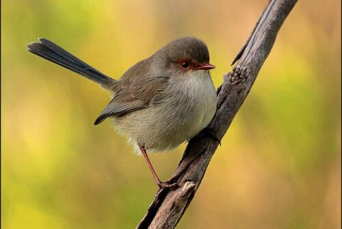 'Superb Fairy Wren' by Dave Thomas – Monthly Winning Entry.