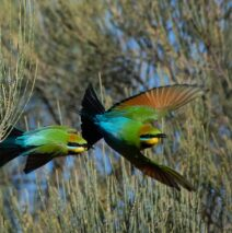 'Bee Eaters Banking' by Cheryl Munzel.  First place Open Print