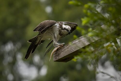 'Osprey With Fish' by Ron Price
