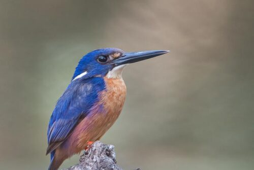 'Azure Kingfisher' by Felicity Johnson