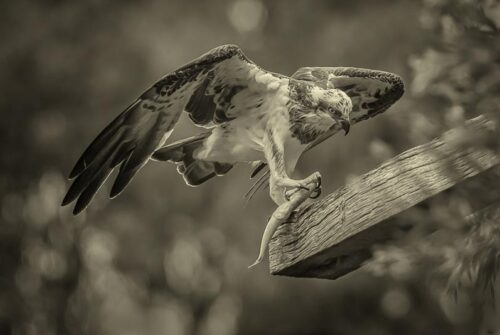 'Osprey With Fish' by Ron Price. Winning Monochrome Print.