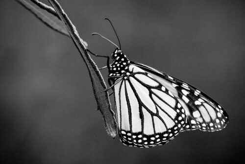 'Butterfly' by Will Tainsh. Winning Monochrome Print October.
